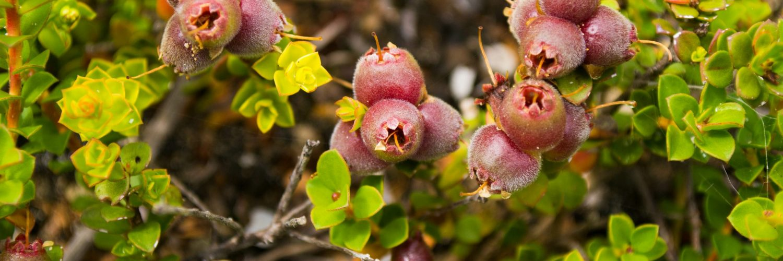 Australian native plant Muntries (Kunzea pomifera) with berries
